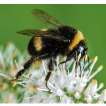 Thumbnail for Not-so-bumbling bumblebees
